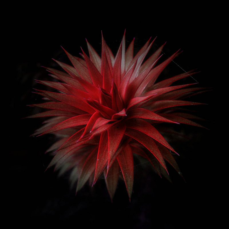 Red Spiky